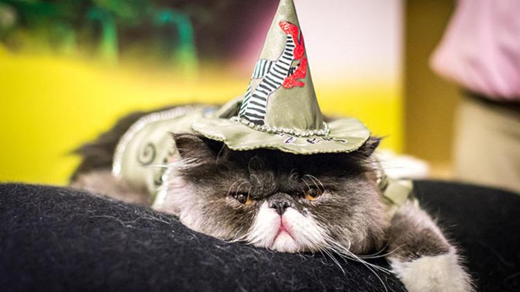 ALGONQUIN CAT FASHION SHOW