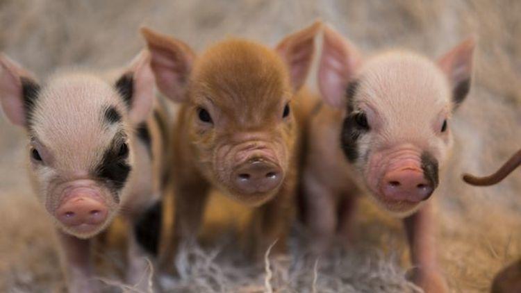 Mini Pigs, Kew