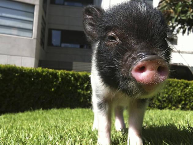 Cómo cuidar un mini pig