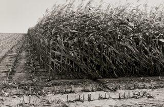 Peter Cattrell (Maize Cutting  Serre  Somme)