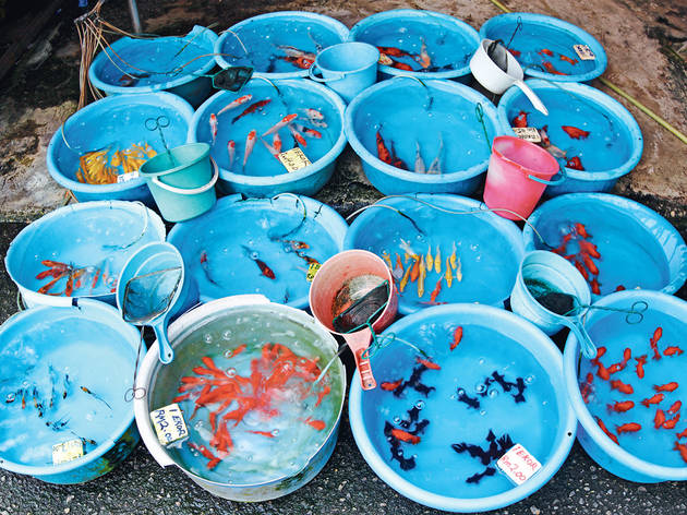 Look at all sorts of aquarium fishes swim in blue basins outside Pudu market