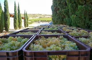 Wine Harvest in the Penedès region