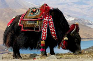 Du thé au beurre de yak