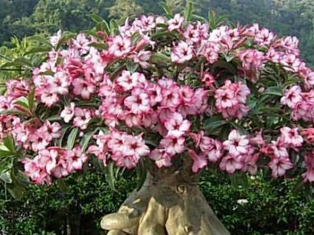 Penang Adenium Flower Show 2013