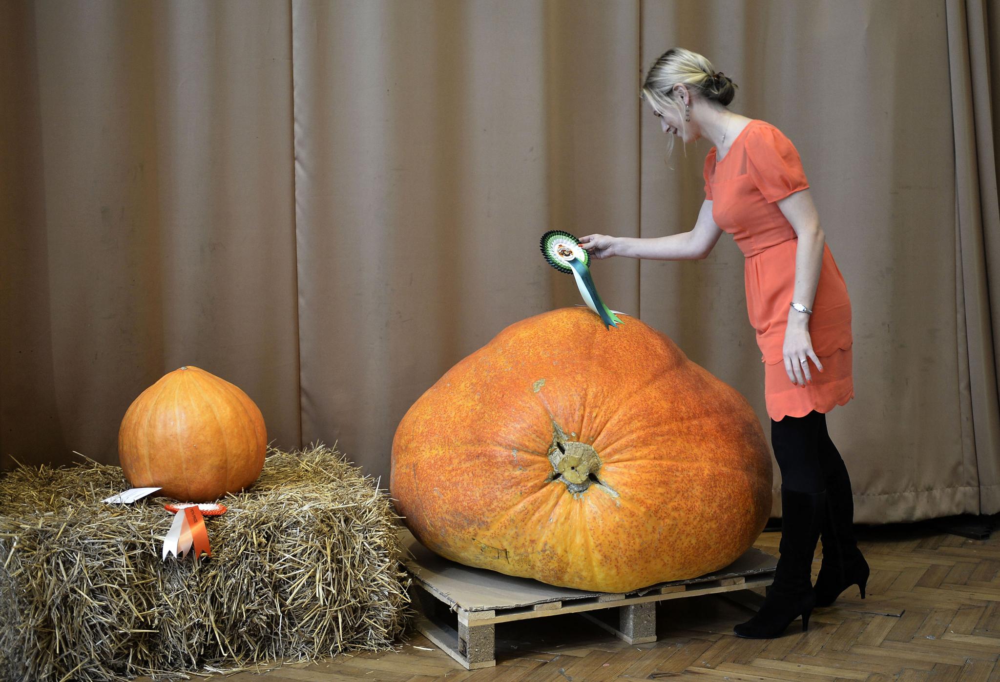 Biggest Punpkin Competition at London Harvest Festival Show