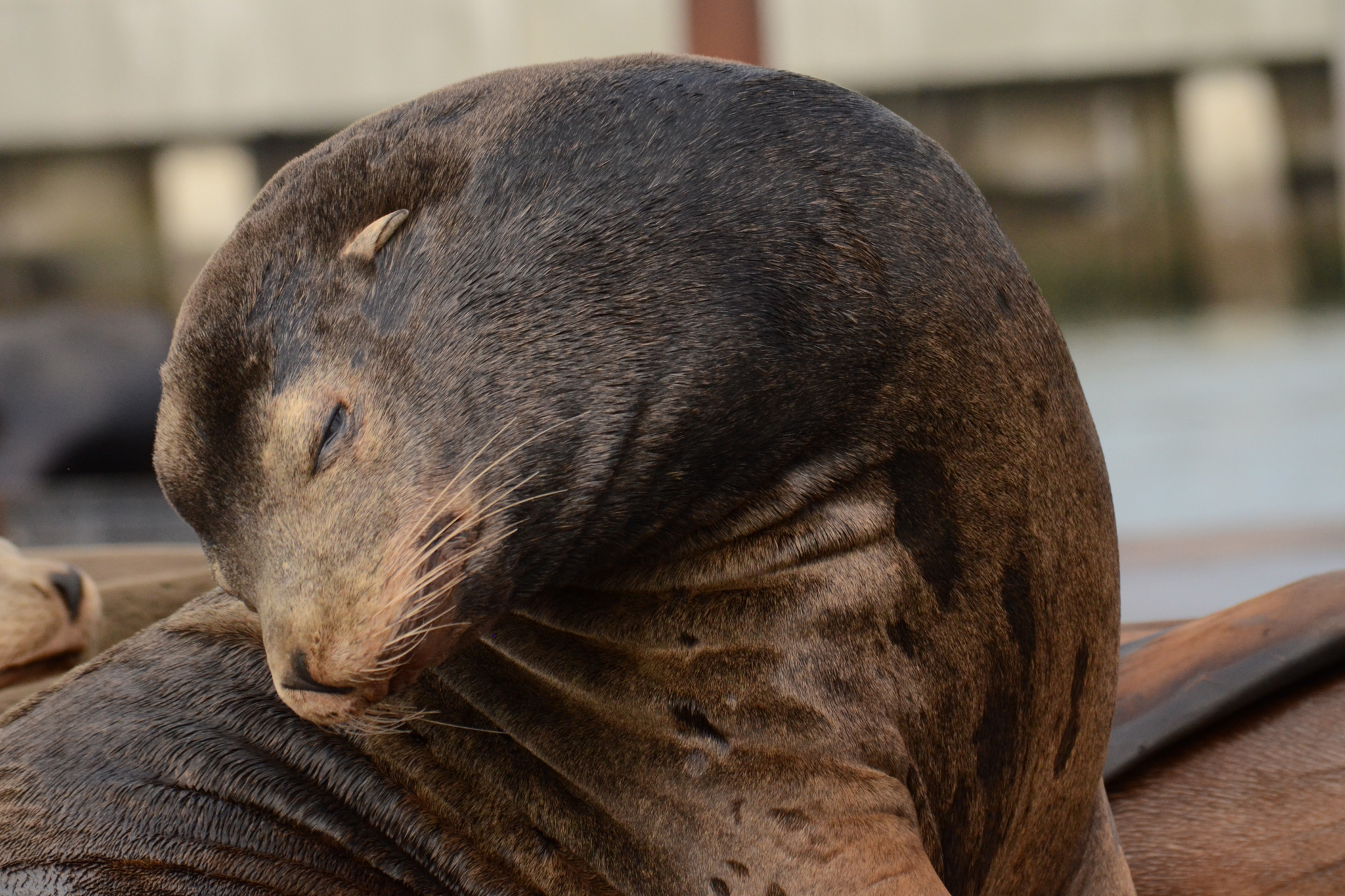 Commune with sea lions at Pier 39