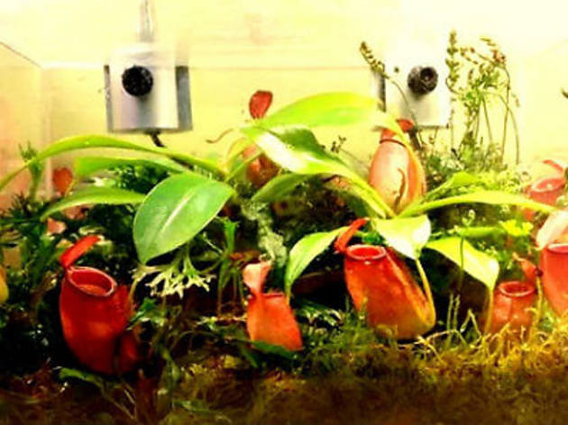 The Art of Growing Pitcher Plants