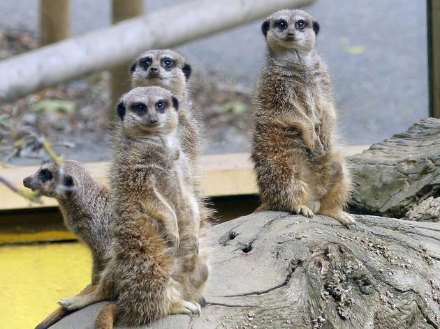 Meerkats, Battersea Park Children's Zoo