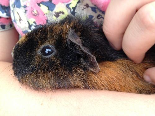 Wildclub, Spitalfields City Farm, guinea pig