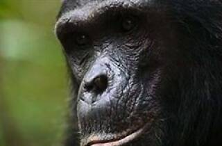 Chimpanzee Talk