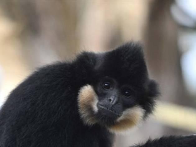 Gibbon Talk, Edinburgh