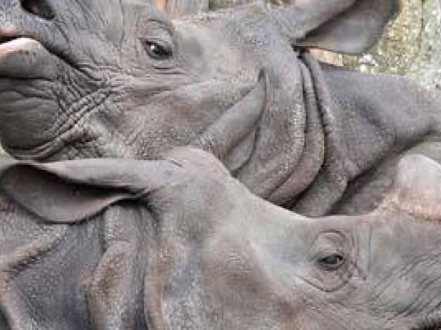 Greater One-horned Rhino Talk, Edinburgh