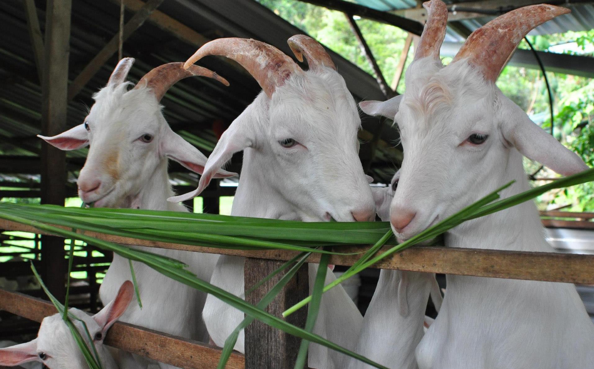 Saanen Dairy Goat Farm