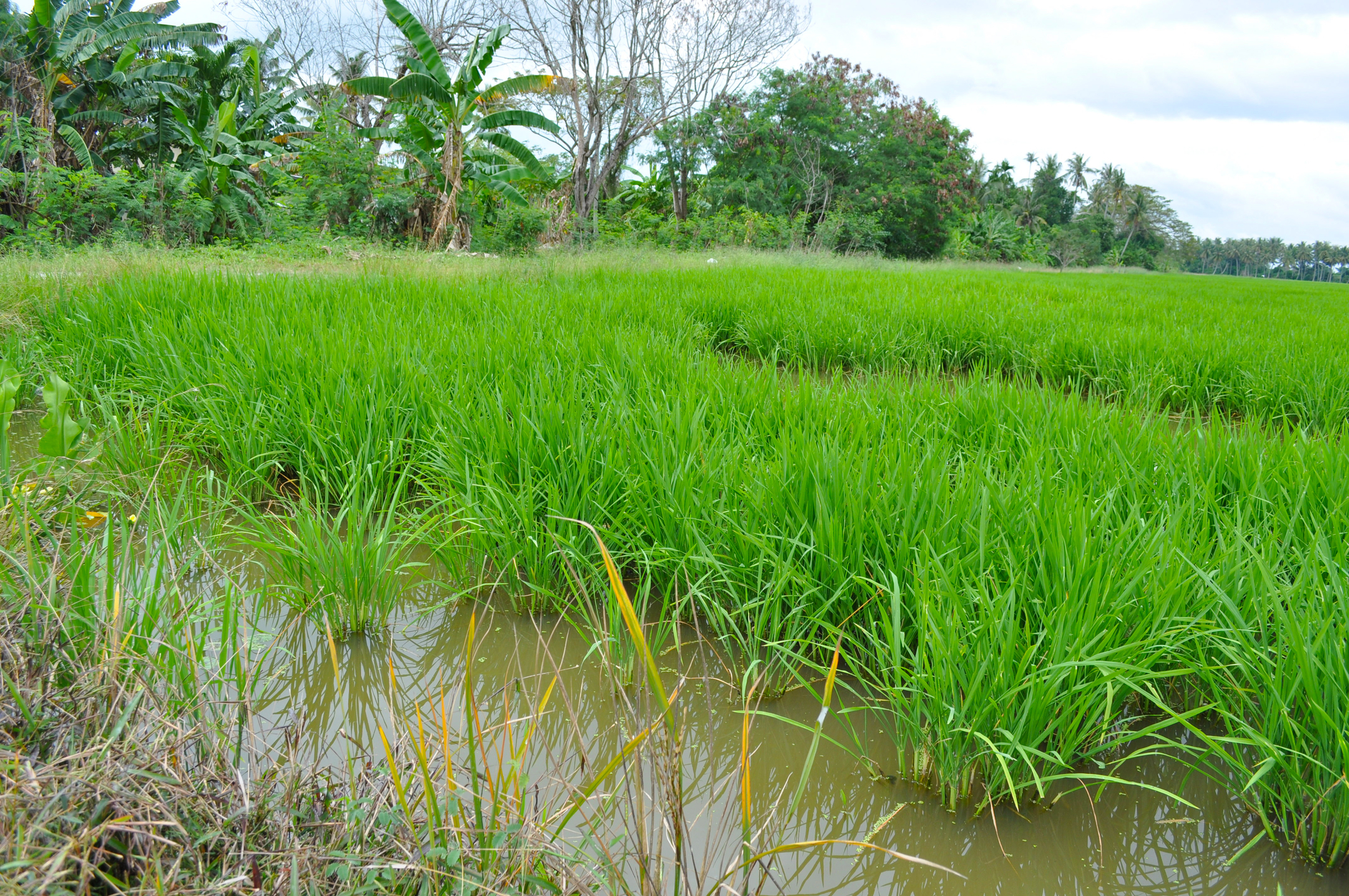 Rice fields, Balik Pulau
