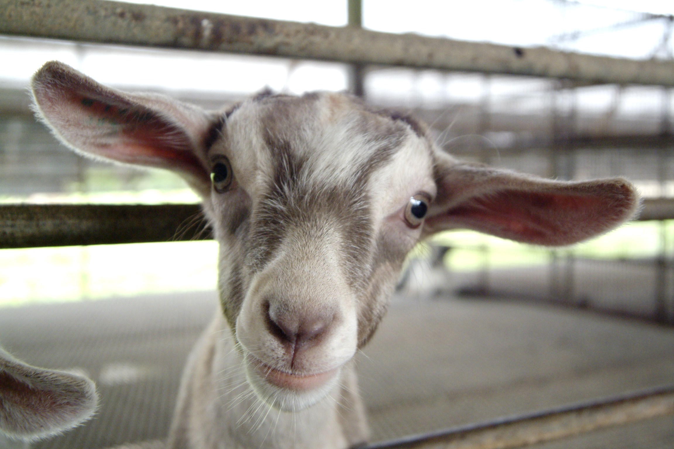 Get upclose with goats at Hay Dairies