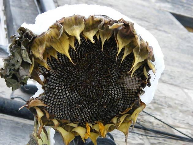 Sunflower in snow