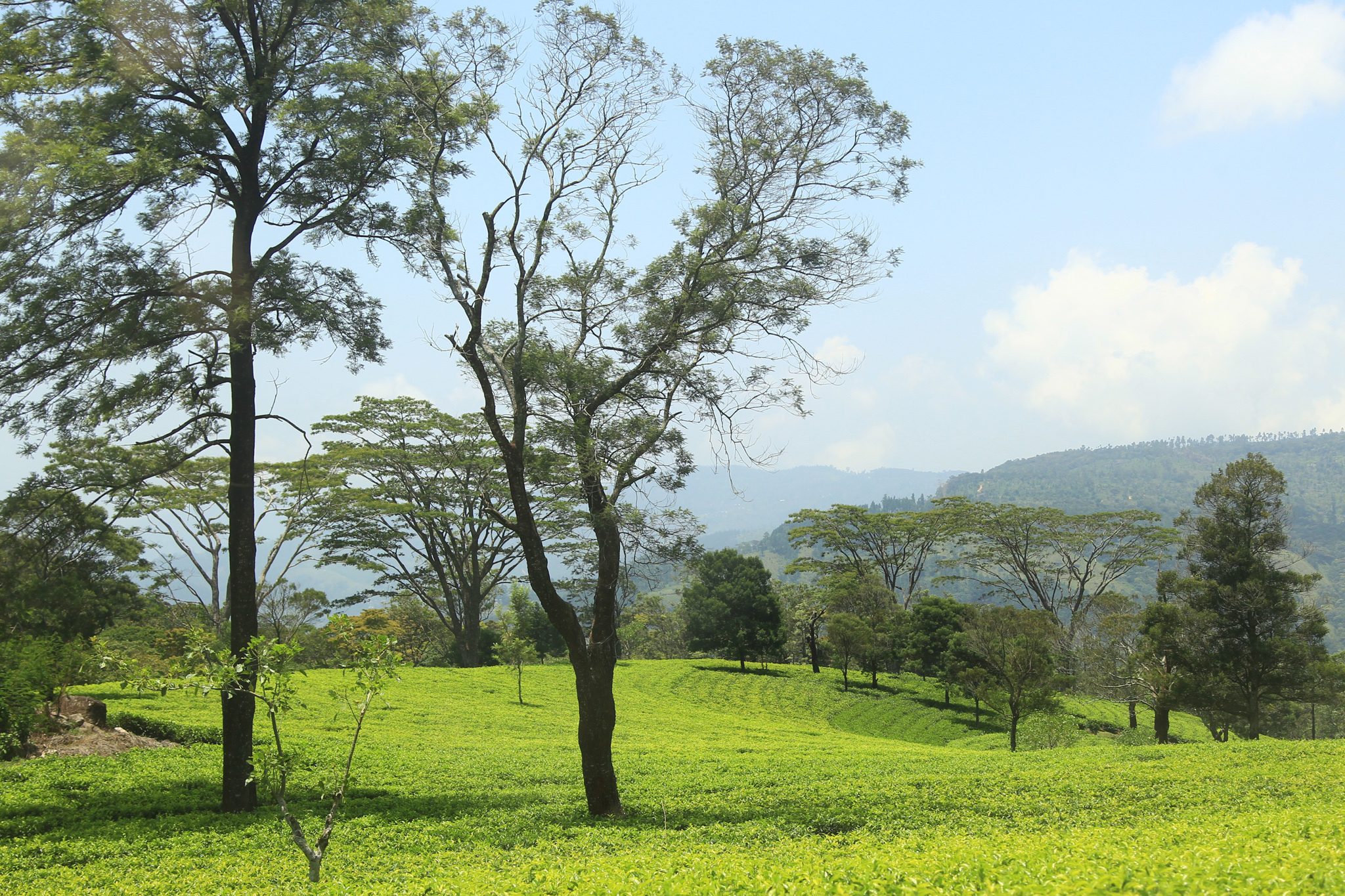 Kandy is a tea growing region in Sri Lanka
