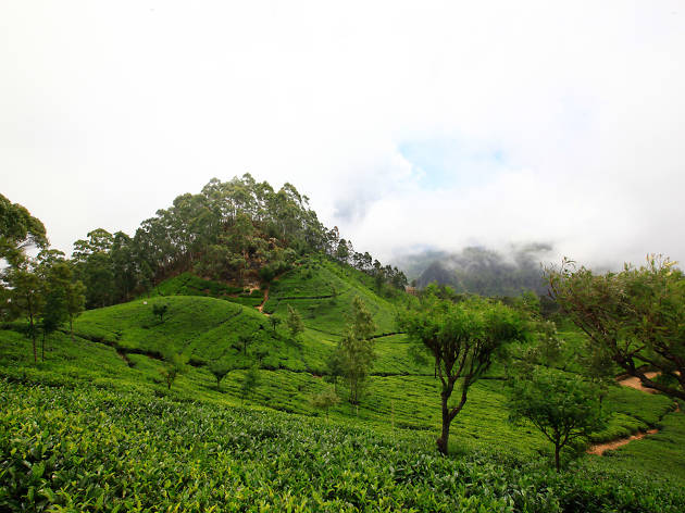 Uva Province is a tea growing region in Sri Lanka