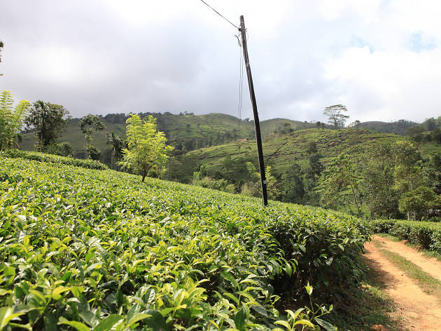 Ruhuna is a tea growing region in Sri Lanka