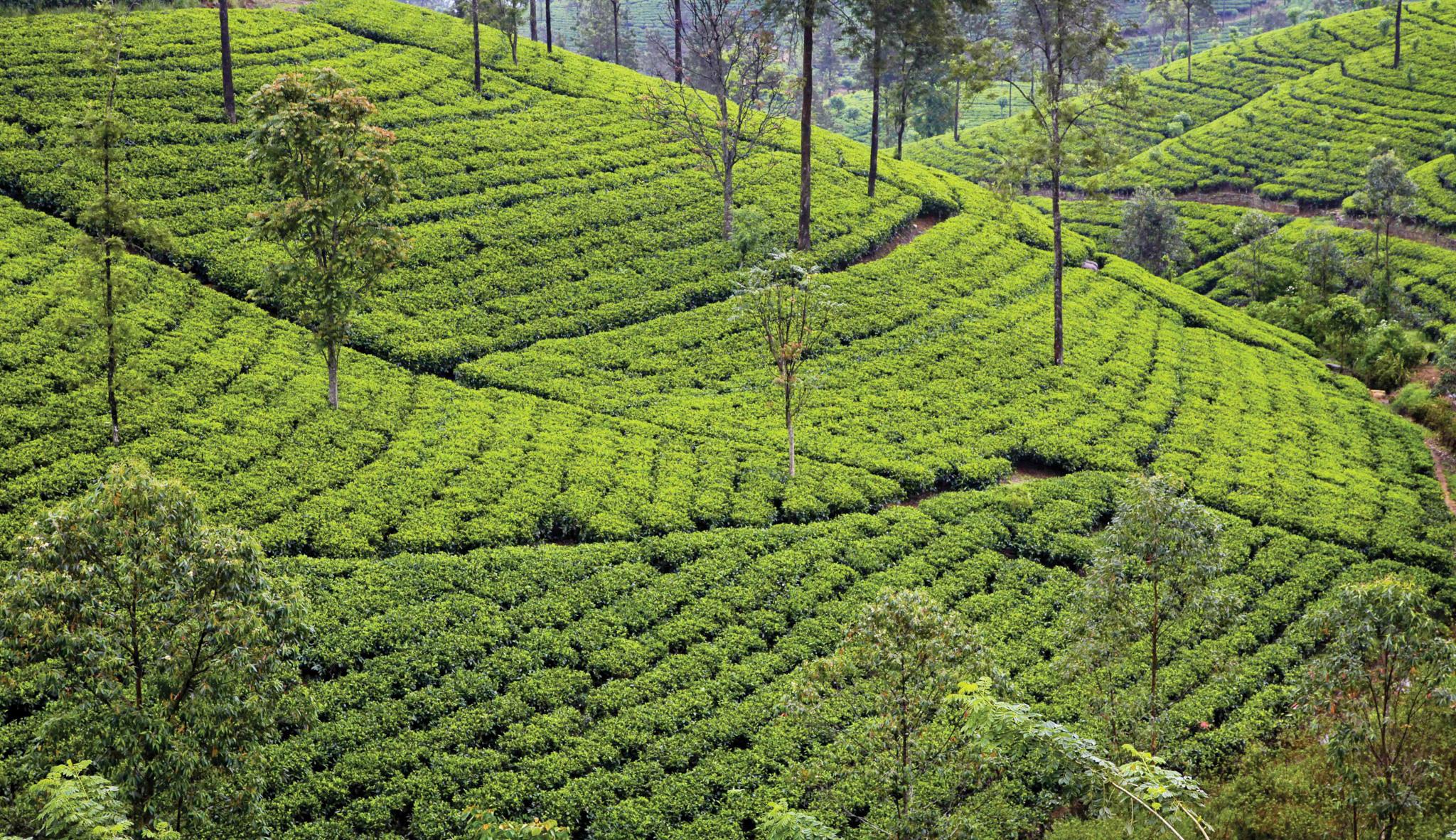 Trekking in Nuwara Eliya Tea Trails