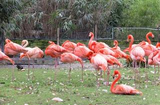 Les flamants roses (Ménagerie du Jardin des Plantes / Photo : © TB / Time Out)