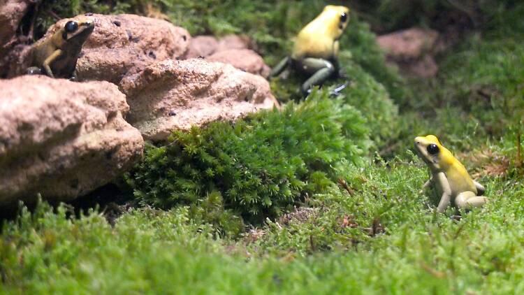 Vivarium (phyllobate terrible) (Ménagerie du Jardin des Plantes / Photo : © TB / Time Out)