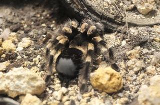 Vivarium (mygale mexicaine) (Ménagerie du Jardin des Plantes / Photo : © TB / Time Out)