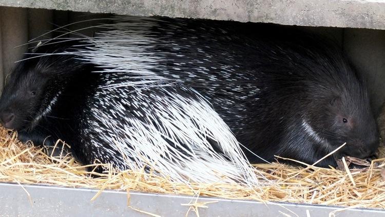 Les porcs-épics (Ménagerie du Jardin des Plantes / Photo : © TB / Time Out)