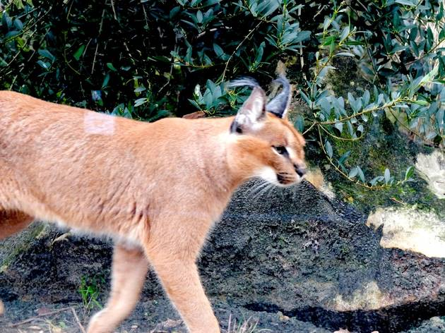 Fauverie (le caracal) (Ménagerie du Jardin des Plantes / Photo : © TB / Time Out)