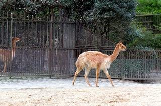La vigogne (Ménagerie du Jardin des Plantes / Photo : © TB / Time Out)