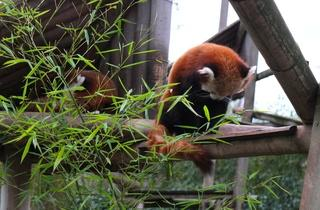 Les pandas roux  (Ménagerie du Jardin des Plantes / Photo : © TB / Time Out)