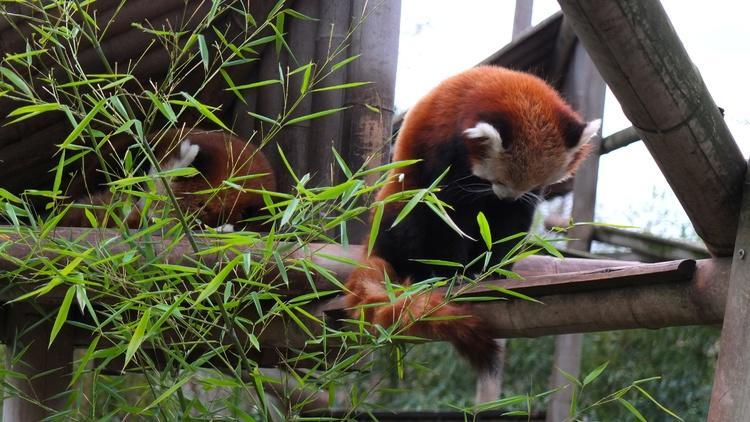 Les pandas roux  (Ménagerie du Jardin des Plantes / Photo : © TB / Time Out)