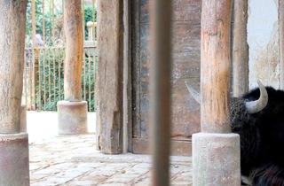 Le yack (Ménagerie du Jardin des Plantes / Photo : © TB / Time Out)