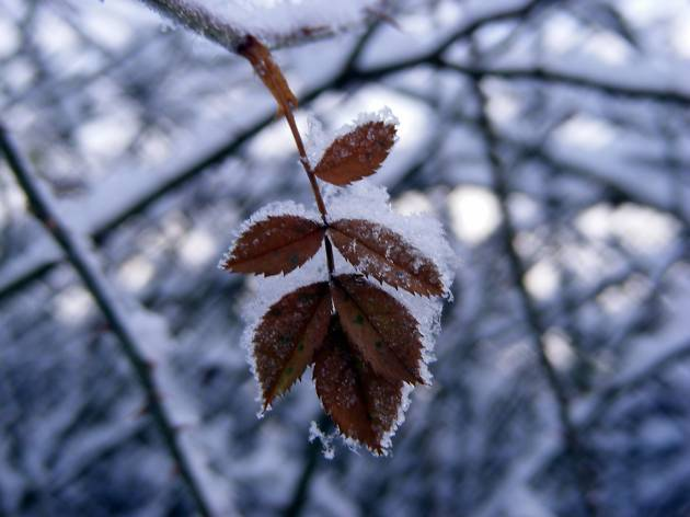Queen's Park leaf
