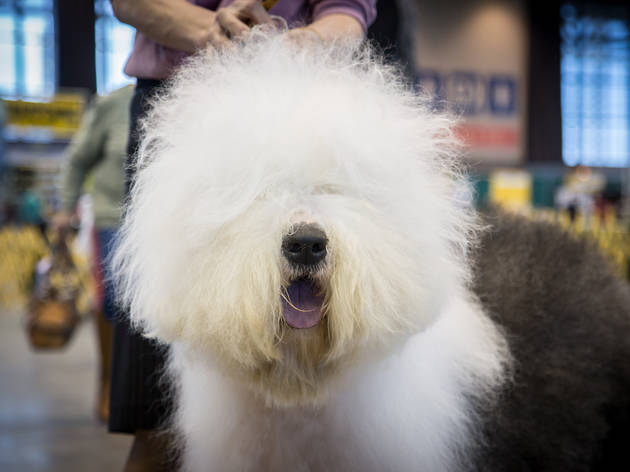 Pooches and their owners strutted their stuff at the International Kennel Club Dog Show at McCormick Place, January 30, 2015.​