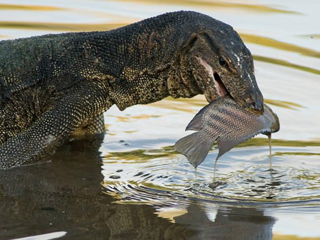 Sungei Buloh Wetland Reserve - Monitor lizards