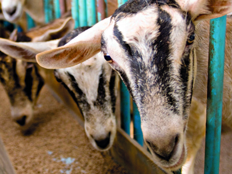 Get up close with goats at Hay Dairies