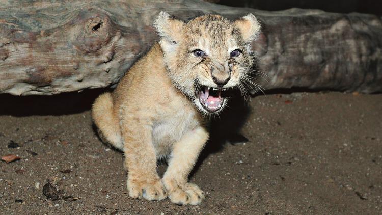 Singapore Zoo - Lion cub