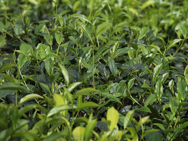 Ceylon Tea in Sabaragamuwa