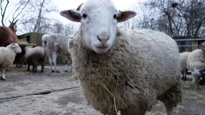 Sheep, Mudchute farm,