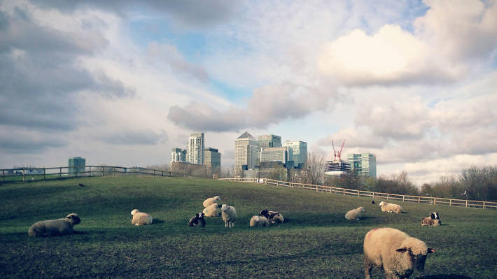 Sheep taking over the city