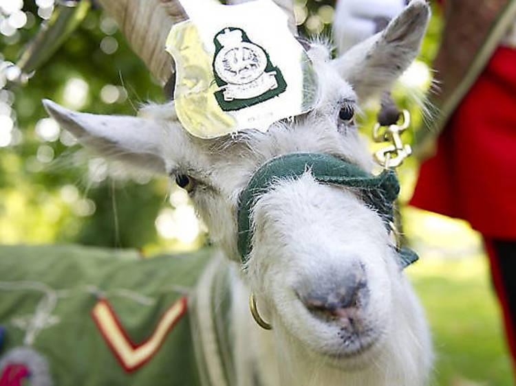 Taffy the regimental goat