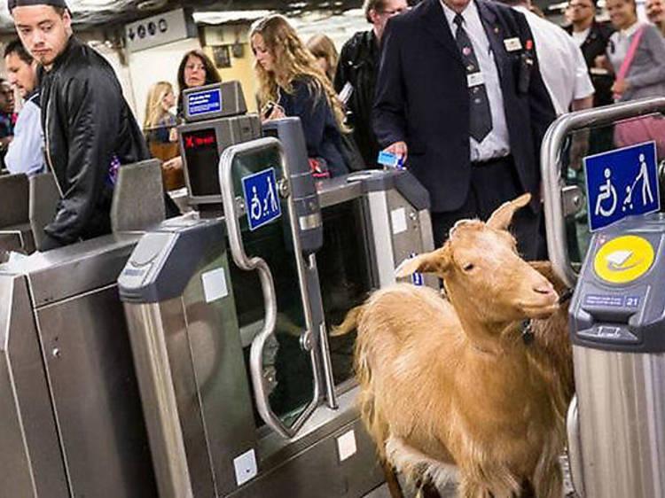 Goat on the Tube