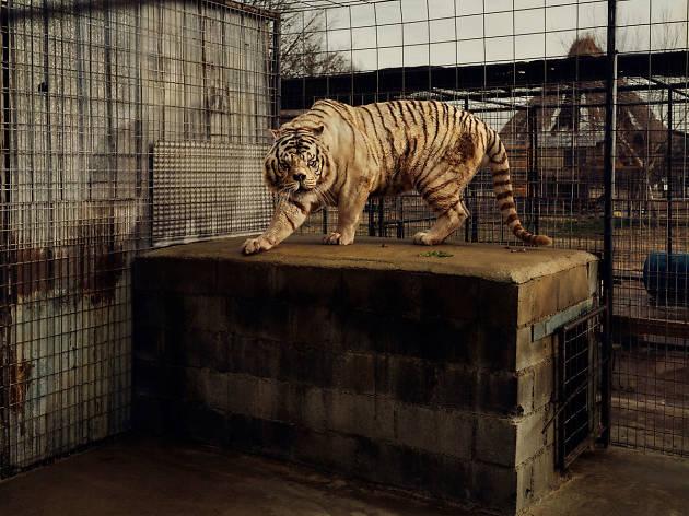 (Taryn Simon, 'An American Index of the Hidden and Unfamiliar (White Tiger)', 2007 / Courtesy de l'artiste / © 2014 Taryn Simon)