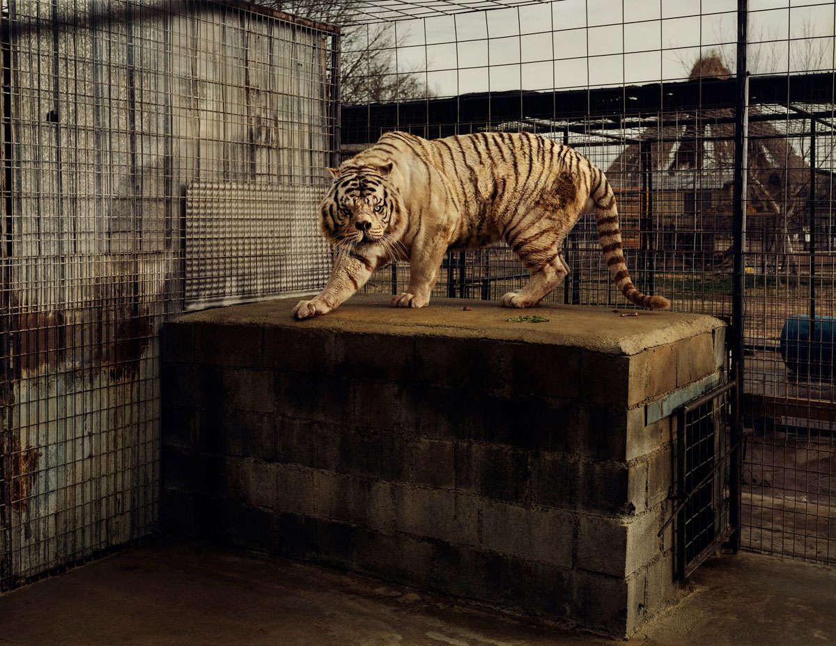 (Taryn Simon, 'An American Index of the Hidden and Unfamiliar (White Tiger)', 2007 / Courtesy de l'artiste / © 2014 Taryn Simon)