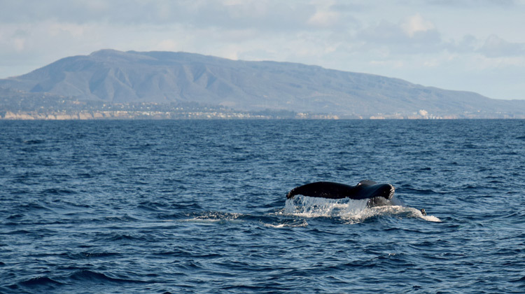 Whale watching near Dana Point