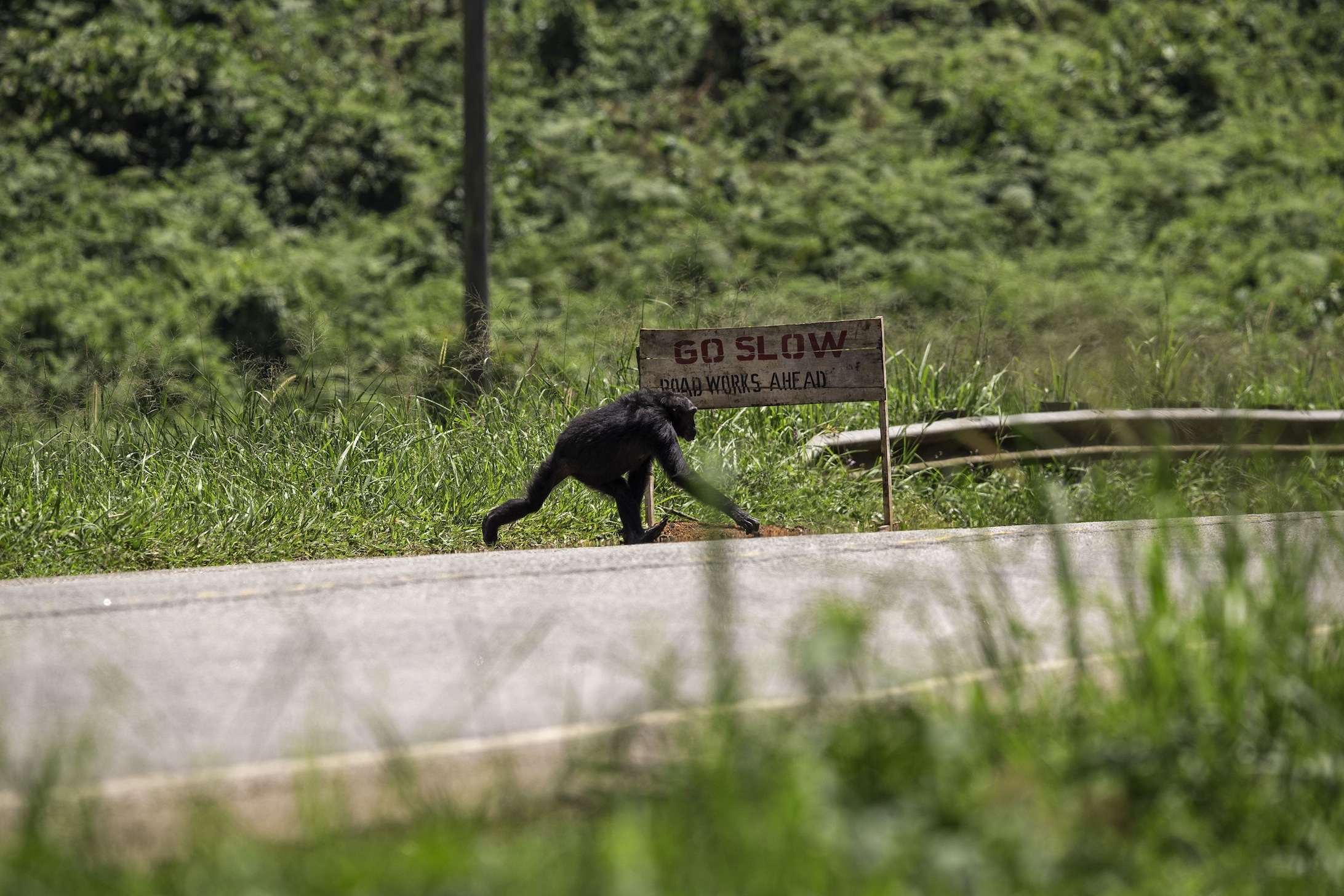 (Chimpanzé traversant une route / © Jean‐Michel Krief)
