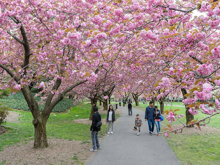 The Sakura Matsuri Cherry Blossom Festival