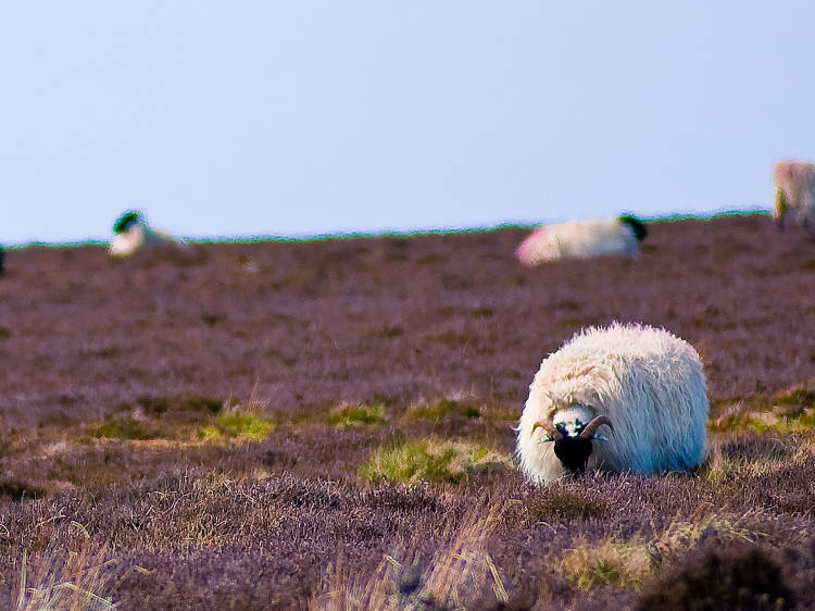Sheep in sunny Sleights
