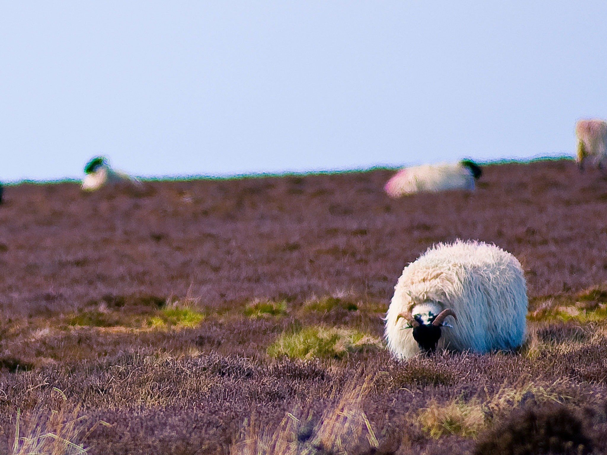 Sheep in sunny Sleights
